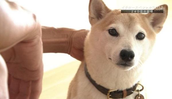 画像を見ればすぐにわかりますが、イチローさんの愛犬の犬種は柴犬です!